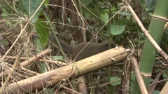 Western Lesser Bamboo Lemur moving in bamboo forest in the rainforest of Mada Stock Footage