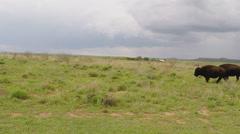 Two Buffalo Walk Across Green Prairie- Caprock Canyon Texas Stock Footage