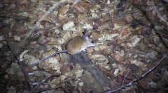 Western tuft-tailed Rat on the dry deciduous forest floor of Madagascar Stock Footage