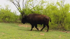 Camera Tracks Walking Buffalo- Caprock Canyon State Park Stock Footage