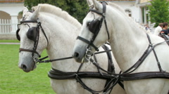 White horses leading the carriage in the park - stock footage