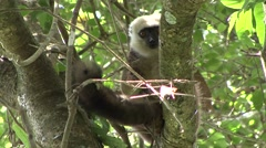 White-fronted Brown Lemur feeding in the rainforest of Madagascar 3 Stock Footage