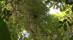 White-fronted Brown Lemur moving in tree in the rainforest of Madagascar 2 Stock Footage