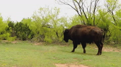 Camera Tracks Walking Buffalo- Caprock Canyon State Park Slomo Stock Footage