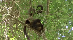 White-fronted Brown Lemur socialising in the rainforest of Madagascar 2 Stock Footage