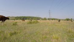 Cows graze in the meadow under the wires. - stock footage
