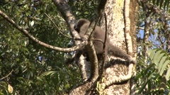 Eastern Hollock Gibbon Climb Tree in China 1 Stock Footage