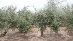 Olive Trees With Green Olives in southern Spain Stock Footage