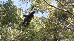 Eastern Hollock Gibbon Climb Tree in China 3 Stock Footage