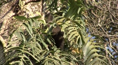 Eastern Hollock Gibbon feeding in tree in China 2 Stock Footage