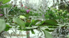 Vietnam Water Lilly Wide - stock footage