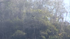 Western Black Crested Gibbon swing in the trees in Wuliangshan in China 4 Stock Footage