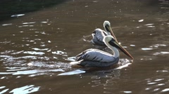 4k Pelican swimming and splashing in a sunny pond Stock Footage