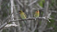 Birds on a branch itching up close zoom - stock footage