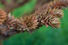 Stock Photo of Cedar cones