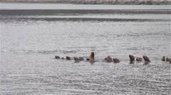 Alaskan Sea Lion Herd Swiftly Moving Stock Footage