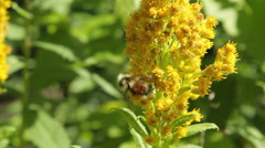 Bees Polenating Colorfull Yellow Flowers - stock footage