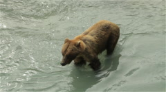Brown Bear in River Snacking Stock Footage