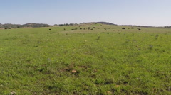 Green Prairie With Distant Buffalo Herd- Wichita Mountains Nature Reserve Stock Footage
