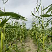 Row of corn plants growing in a field Stock Photos