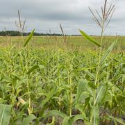 Close up of corn growing in a field - stock photo