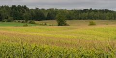 Crop on farmland Stock Photos