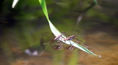 A pair of  water striders sit on a blade of grass on top of the water. Stock Footage