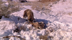 Wolf Devouring Animal Carcass - stock footage
