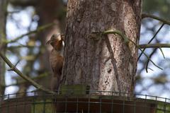 Red Squirrel  (Sciurus vulgaris) Stock Photos