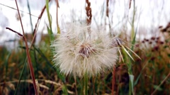 Close up shot of a fluffy dandelion swaying the in breeze. - stock footage