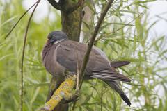 Wood Pigeon (Columba palumbu) Stock Photos