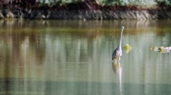 A Great Blue Heron silently stalks its prey and catches a fish. Filmed in 4K UHD - stock footage
