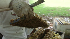 Beekeeper inspecting a honey bee brood frame Stock Footage