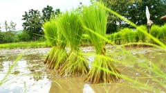 Stock Video Footage of The cultivation of traditional rice agriculture, Thailand.