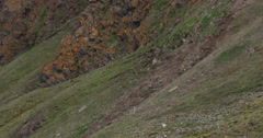 Caribou on Mountainside in Svalbard - Wide Running Stock Footage