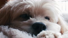 Cute little cockapoodle dog resting in his bed Stock Footage