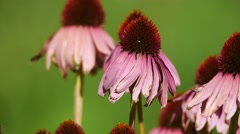 A group of pink flowers sways in the breeze. Filmed in 4K UHD. Stock Footage