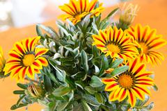 Gazania flower native to South Africa, but found widely in Australia Stock Photos