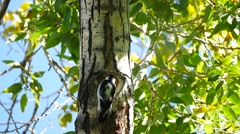 Hairy Woodpecker 4K UHD. Stock Footage