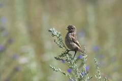 Fledgling stonechat Stock Photos