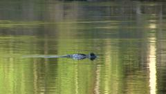 A Merganser Swims in Golden Water Stock Footage
