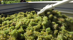 Distribution of white grapes into the trailer Stock Footage