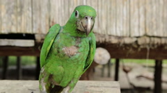 A brazilian parrot living on an indian tribe at the amazon Stock Footage