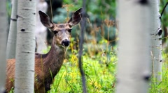 A single female deer watches closely from a dense Aspen forest. Filmed in 4K UHD Stock Footage