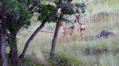 A family of deer that consists of one female doe and two fawns grazes on grass. Stock Footage