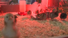 Am I on camera? Baby Chicks Stock Footage