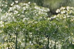 the green dill in  rain - stock photo