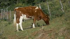 Dairy Cows, Herd, Waikato, New Zealand Stock Footage