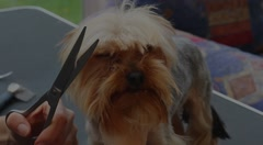 Closeup footage of grooming of the Yorkshire Terrier Stock Footage