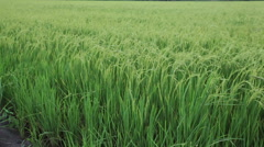 green rice field and windy flow in HD, panning tracking - stock footage